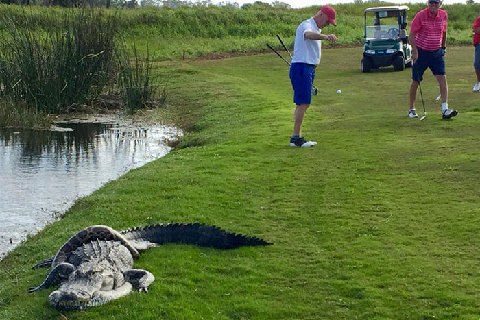Alligator-and-Python-Battle-on-Course-in-Florida