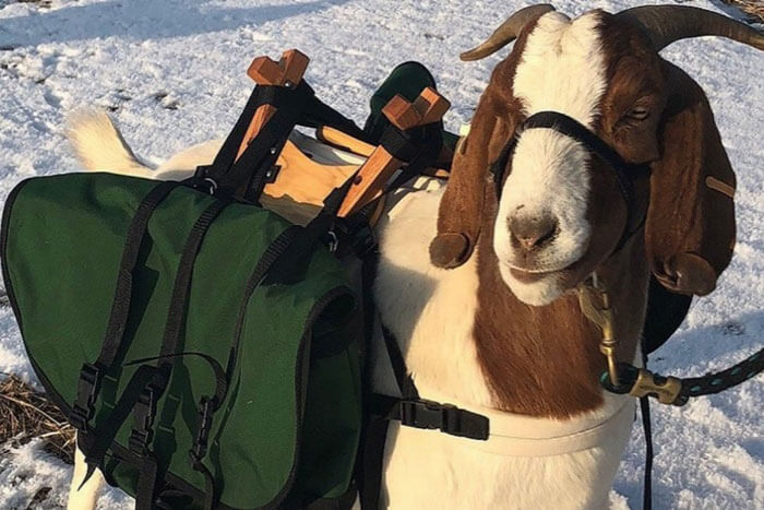 Goat Caddies
